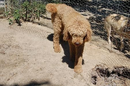 Poodle Free To Good Home Standard Poodle Red Free To Good Home Poodle In Vic For Sale