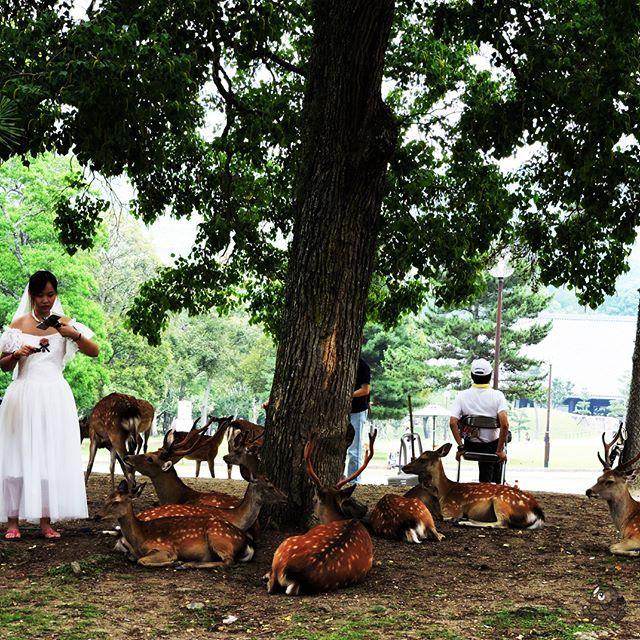 Wedding photography? Step further with Nara's deers.  A w Narze ślubna sesja z jelonkami.  Ostatnie zdjęcie z podróży, więcej na blogu:  http://toniemanga.blogspot.jp/2017/07/jelonki-swiatynie-i-ogrod-w-szczerym.html    #deers #japan #japonia #japon #nihon #nara