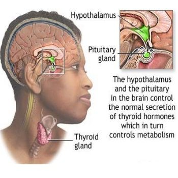 thyroid and pineal gland relationship
