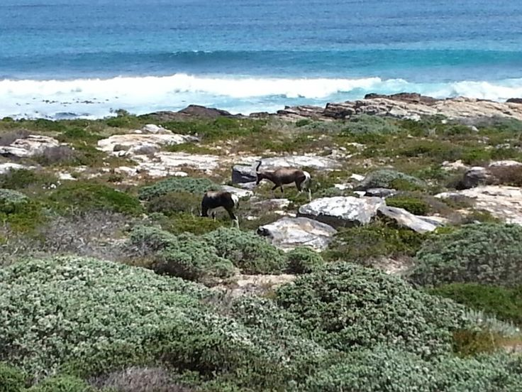 Bontebok at the Cape of Good Hope.  South Africa.