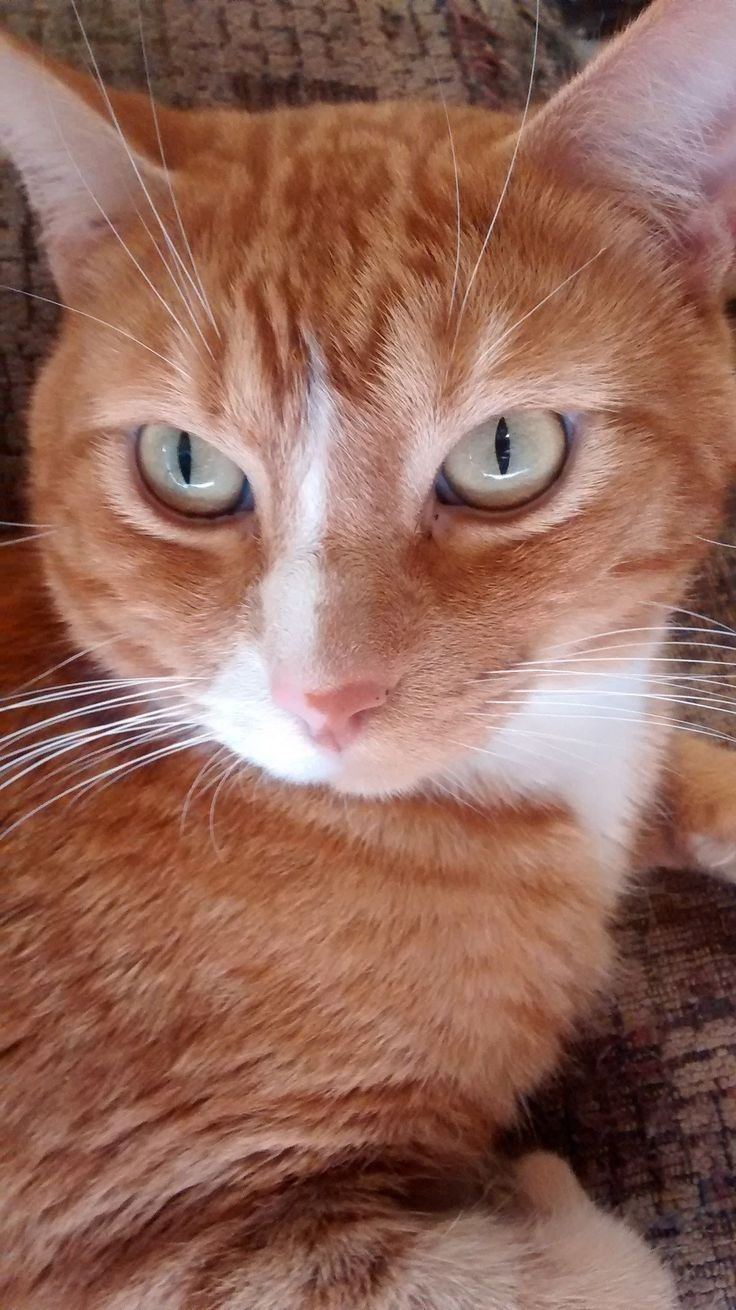 Tabby Cats Personality Tabby Personality Tabby Katzen Personlichkeit La Personnalite Des Chats Tigres Pers In 2020 With Images Cats And Kittens Cat Allergies Gorgeous Cats