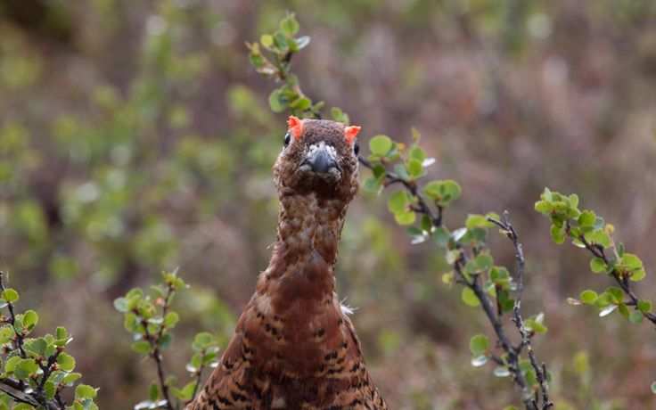 Hello Grouse!  http://www.kontikifinland.com/holidays/destination/1192335/finland/7-day-summer-holiday-in-finland