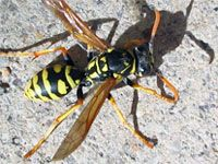 How to kill Yellow Jackets. Yellow jacket bee is probably the most aggressive type of wasps