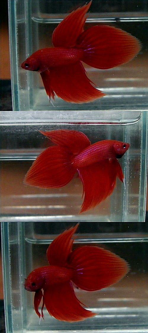 Super Red Spade Tail