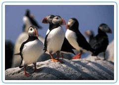 Atlantic Puffins(Bar Harbor Whale Watch Co.)  - we will be taking the puffin & whale tour in July!!  :)
