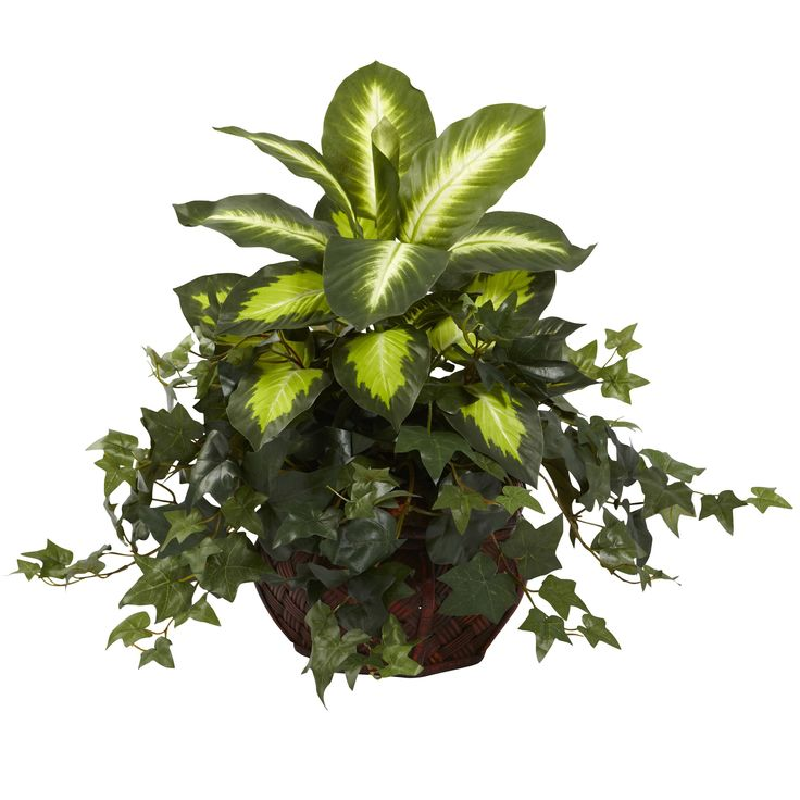 """A bold combination that simply """"works"""", this Dieffenbachia and Ivy pairing will jazz up any area it adorns. The sharp angles of the ivy leaves contrast wonderfully with the bold, leafy Dieffenbachia, creating a look that is one part wild, and one part reserved. Perfectly displayed in a decorative planter, this wonderful specimen will never need a drop of water. Makes a thoughtful (and eclectic) gift as well."""