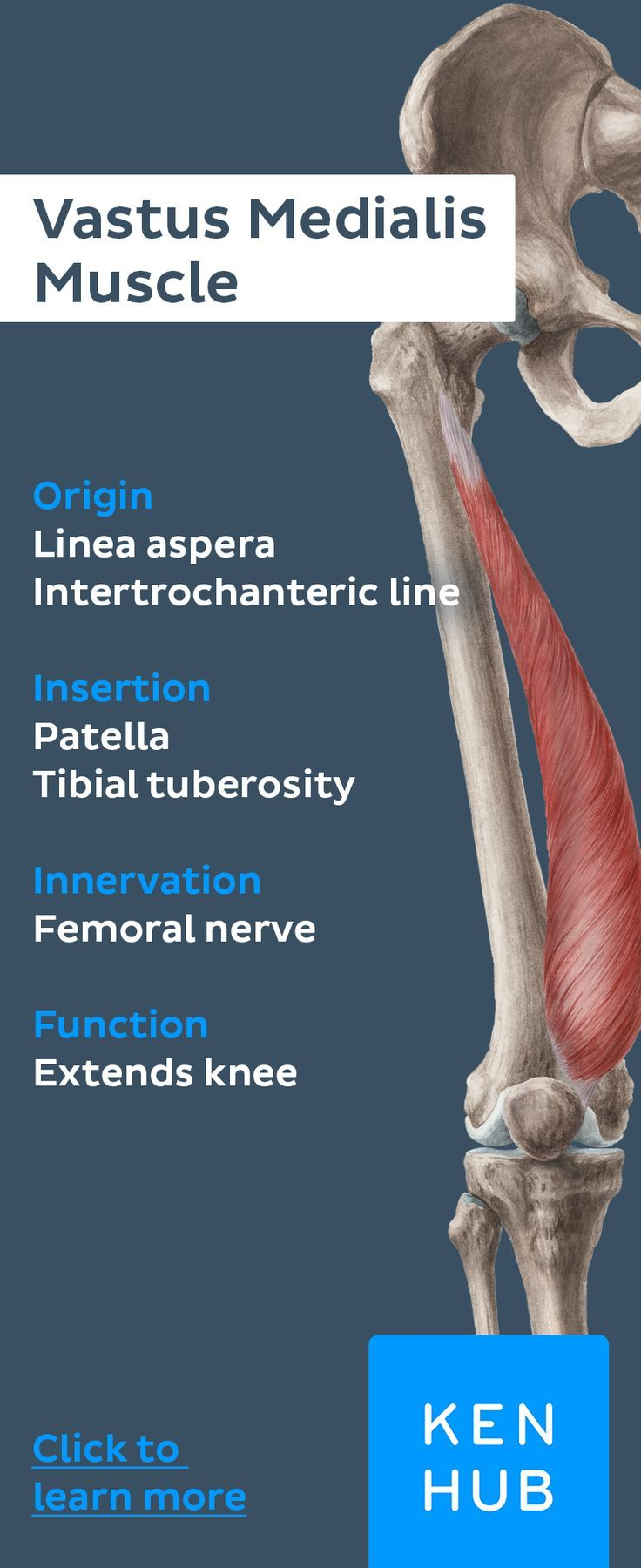 Quadriceps femoris muscle   Medical anatomy, Quadriceps ...