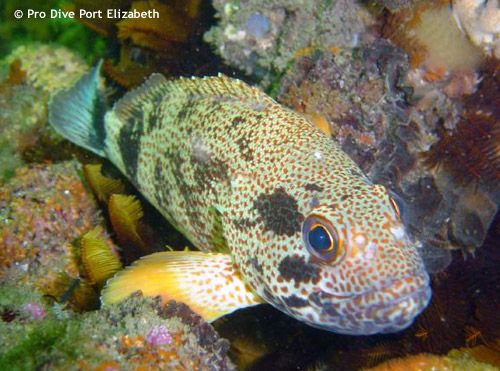 Great Coral Fish at a dive site called Cracker near Port Elizabeth, South Africa.