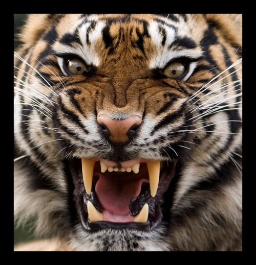 Angry Tiger, Tiger Pictures, Animal