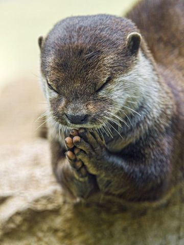 Praying Otter (Image via fllickr)