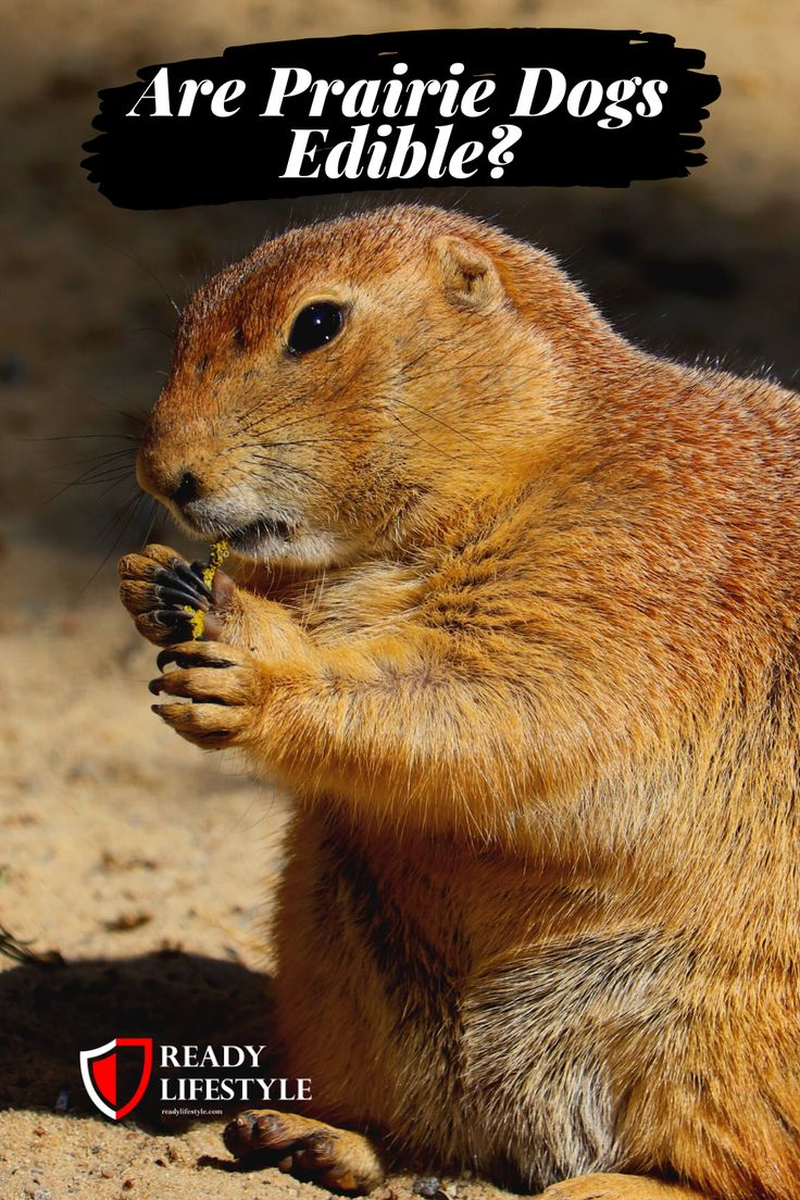 Are prairie dogs edible can you eat this ground squirrel