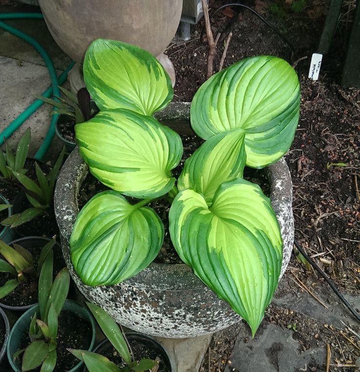 Hosta ventricosa 'Aureomaculata' - new season growth