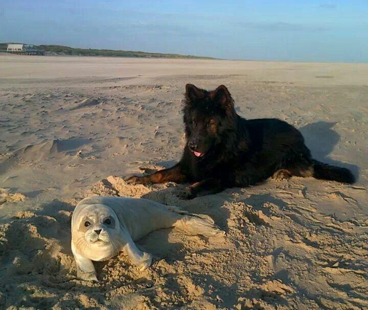 Widar met zeehondje op het Texelse strand.