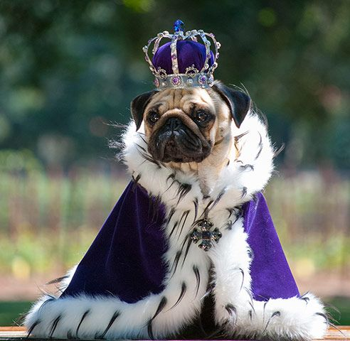 This is how I imagine Iggy being pulled by  a Buster drawn carriage.  Family album of pampered pugs - in pictures