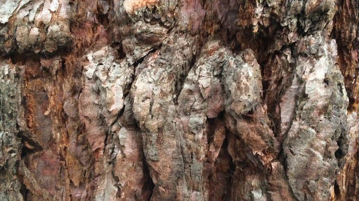 Giant redwood (Sequoiadendron giganteum) - bark close up - March 2018