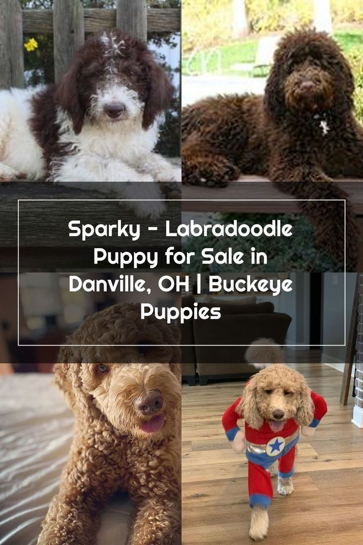 Sparky Labradoodle Puppy for Sale in Danville, OH