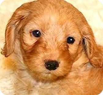 Wakefield, RI - Goldendoodle. Meet AUSTIN(OUR MINI-GOLDENDOODLE!!, a puppy for adoption. http://www.adoptapet.com/pet/17358224-wakefield-rhode-island-goldendoodle