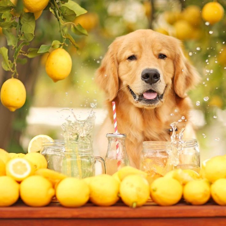 """When life gives you lemons, your Golden Retriever will help you make lemonade. …"""