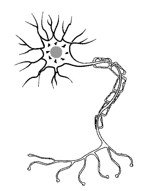 neuron coloring picture google image result for      faculty washington edu  chudler  gif