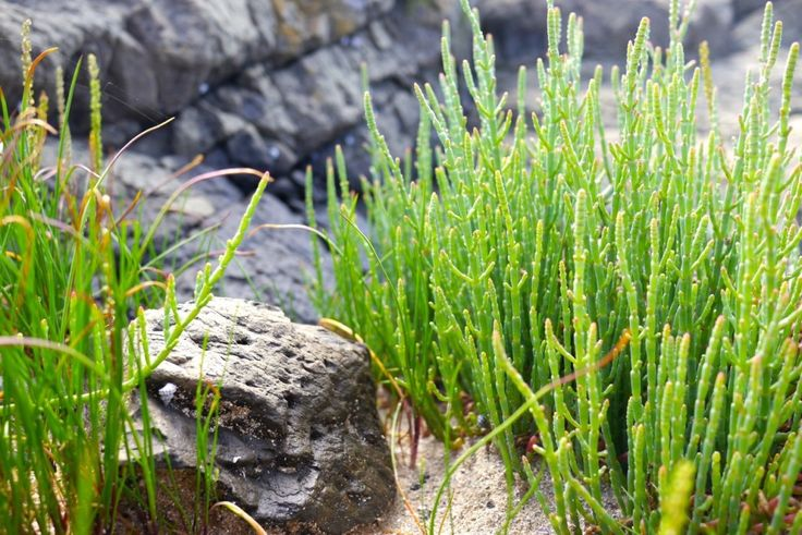 Foraging: Beaded Samphire (Glasswort)