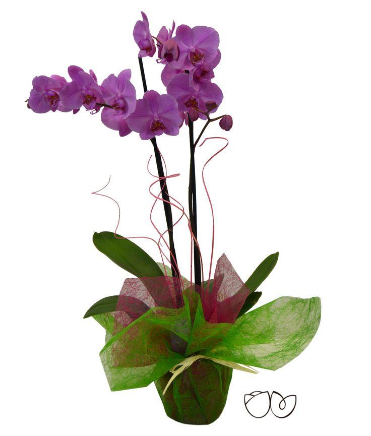 *Planta Orquídea Morada* La Phalaenopsis comúnmente conocida como Orquídea es una planta alargada extremadamente bella que puede llegar a florecer más de una vez por año.