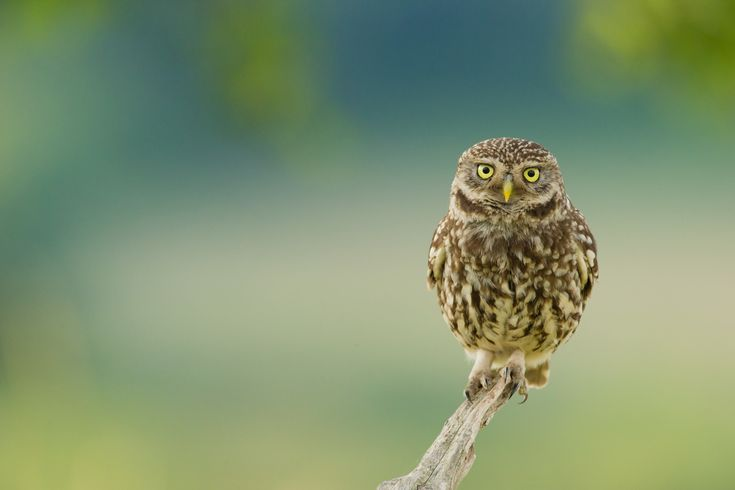 1920x1280 owl pic desktop