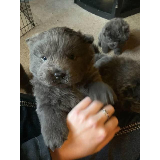 Chow Chow Pittsburgh We Ve Got Five Blue Chow Chow Puppies
