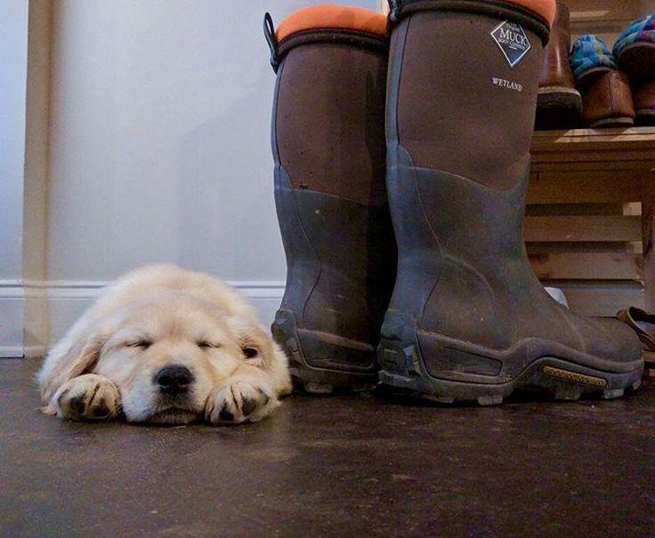 Camp the Golden Retriever puppy   #napsohard #goldenpuppy #sleep #cutepuppy