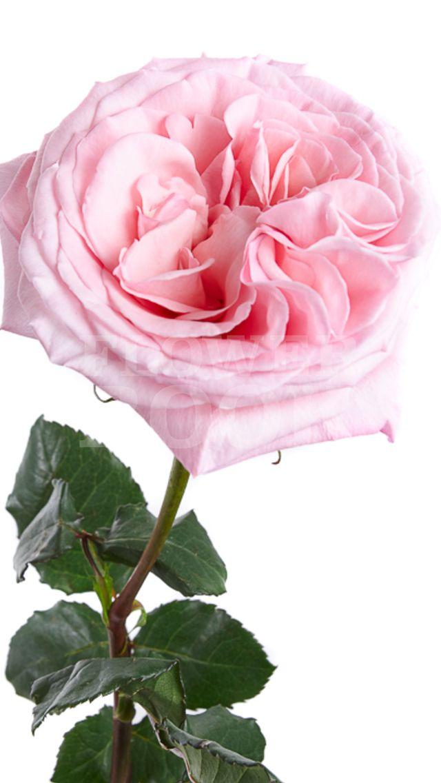 Rose Garden Pink O Hara Rose Yellow Plants Rose Garden