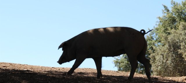Holy Hog Heaven, this is Iberian Pig Paradise