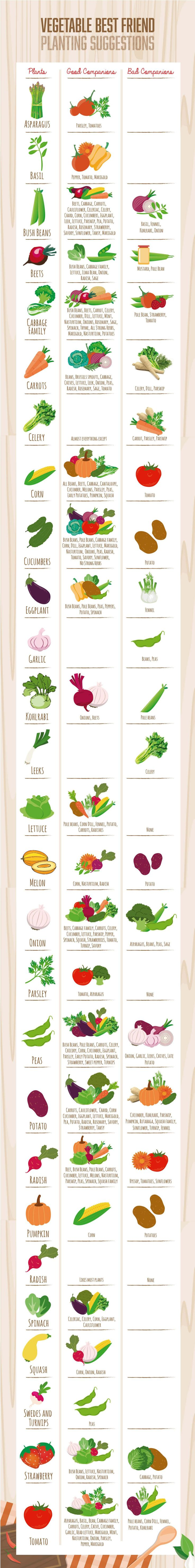 Visual Companion Planting Chart (Guide) - Companion Planting -- just not for helping your plants make friends, but to help your plants grow to the best of their ability by having great neighbors to help them along! Give your garden plants new best friends!