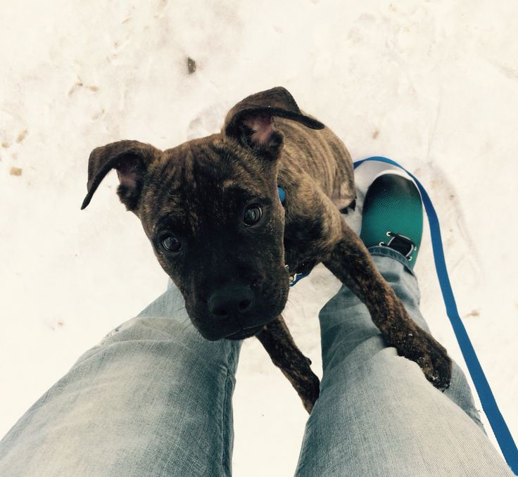 He didn't like the snow. Brindle puppy pitbull boxer mix.