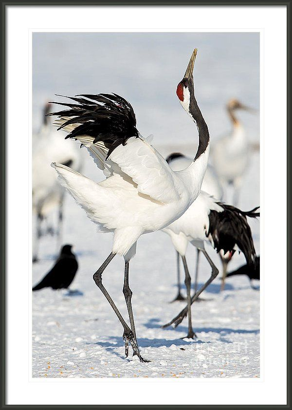 Red-crowned Crane Framed Print featuring the photograph Red-crowned Crane Dance by Natural Focal Point Photography