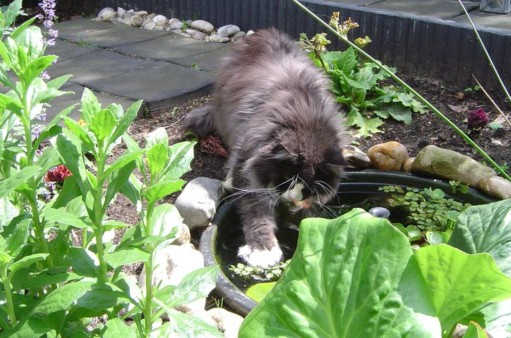 Maine Coon, black smoke & white (ns 09) Maine Street Isa, she loved the little pond (specially made for the coonies  )