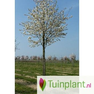 Krentenboom (Amelanchier lamarckii)