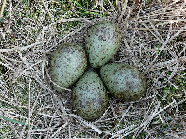 Nest of a Curlew | Flickr - Photo Sharing!