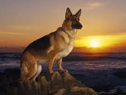 #GermanShepherds Dogs MansBestFriend Animals Pets