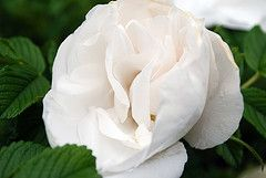 "The Jacobite Rose or the Scottish White Rose has long been a symbol of Scottish Independence and the rightful place of Scotland in the British Isles. Today, it still acts as a powerful symbol for many Scots. Wear a ""White Rose"" both for its own beauty and as an enduring symbol of Scottish freedom and nationalism. These are still worn today in the Scottish Assembly."