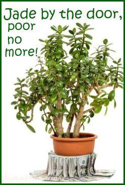 Jade Plant Money Plant
