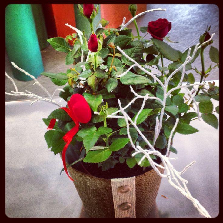 Rose in pianta in preparazione per San Valentino