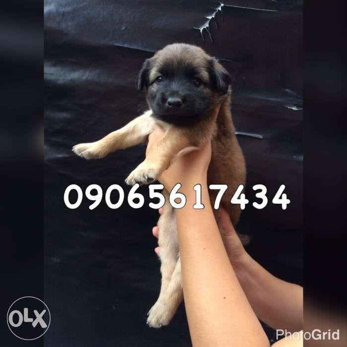 View female labrador crossbreed to chow chow for sale 1800 for sale in Quezon City on OLX Philippines. Or find more New and Used female labrador crossbreed to chow chow for sale 1800 at affordable prices.