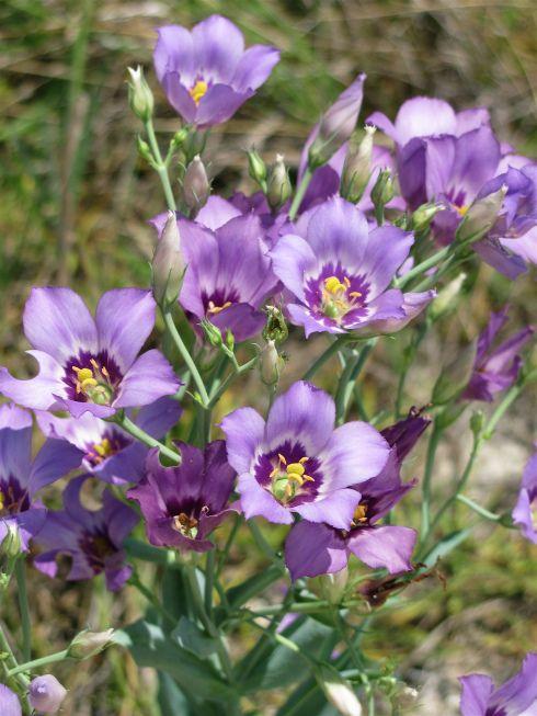 29 best native fl plants images on pinterest
