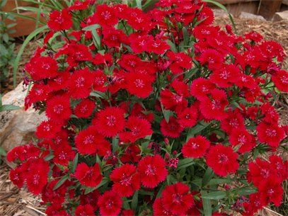 Crimson Red Dianthus  : Perrenial in full bloom. This was planted in my garden under a gorgeous maple tree. They can take full sun but this one was planted in part sun, fertile soil, and in a zone 3/4. Enjoy!