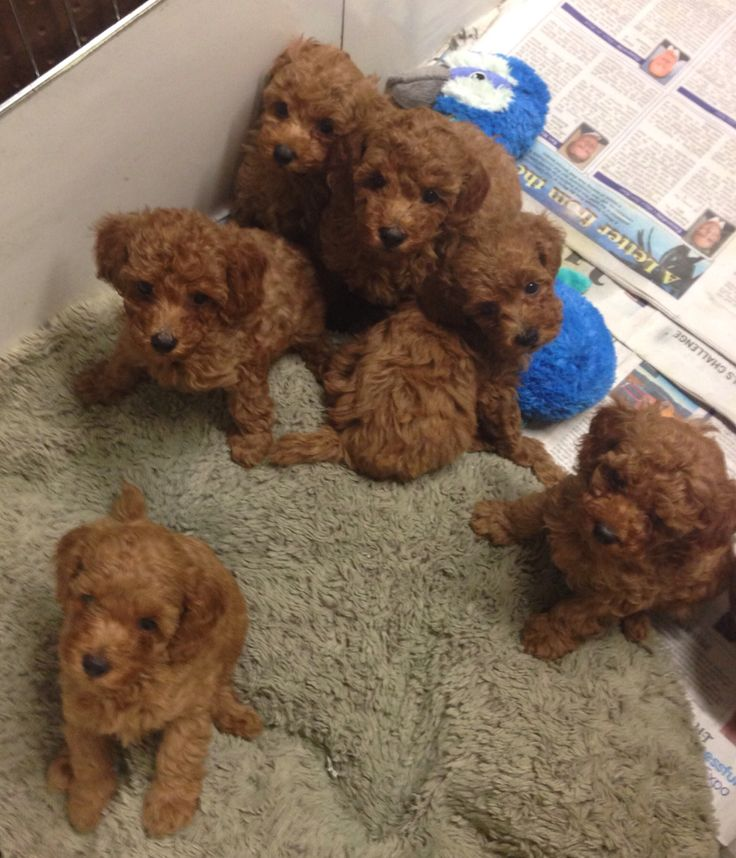 Red teddy bear litter of poodles West Coast Poodles