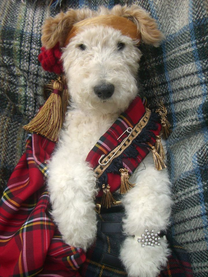 Robbie Burns... this is the cutest dog ever! Love my wired hair fox terrier!