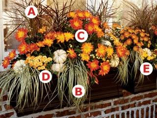 Fall Window Arrangement - A: Purple fountain grass (Pennisetum setaceum); B: variegated Japanese sedge (Carex morrowii 'Variegata'); C: florist mums; D: small white pumpkins 'Baby boo'; E: ornamental peppers