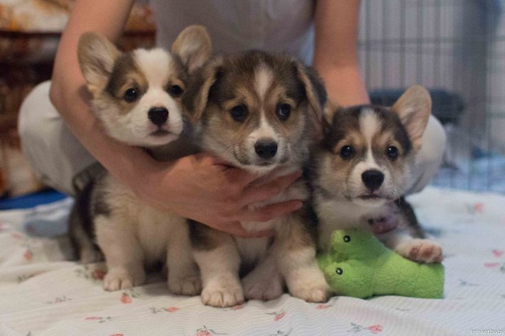 An armful of Corgi puppies!