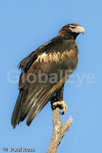 Wedge-tailed Eagle - Aquila audax . Huge, dark Eagle. Very large talons for hunting pray. Wingspan can be over 2 metres (6 feet).  Tail diamond shape. May take up to 5 years to mature. . Photograph By Paul Ross #BirdsPhotography