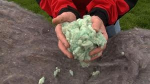 Oregon Sheep Wool for Building Insulation!