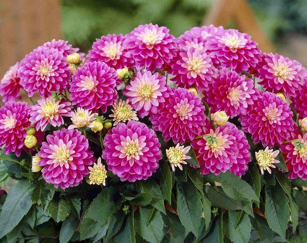 Dáliák az egyik legszebb szezonális virágok minden virág megegyezés |  25 tökéletes nyári virágok Pioneer telepes a http://pioneersettler.com/types-of-flowers-to-plant-summer-flowers